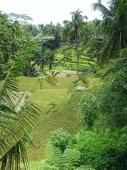 Rice terraces. Photo by Brenda Hinton, Bali, November 2013