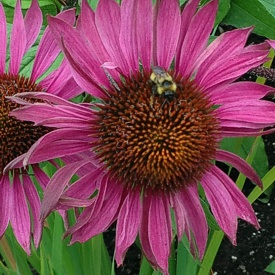 Flower and bee at Butchart Gardens, Vancouver Island, BC