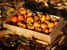 Persimmon harvest 2013. Photo by Brenda Hinton.