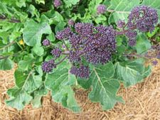 Beautiful purple broccoli -- photo by Sienna M Potts