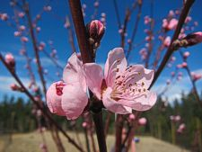 Peach blossoms on the Mendocino Coast -- photo by Sienna M Potts